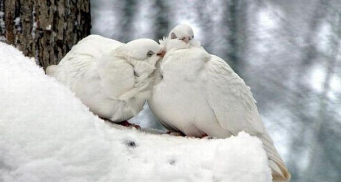 Bembeyaz İki Güvercin!